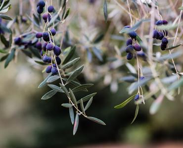 image Olive Oil Harvest Seminar